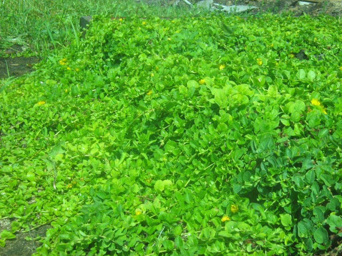Луговой чай выращивание 5428