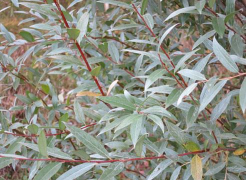 Ива белая серебристая (Salix alba f. argentea)