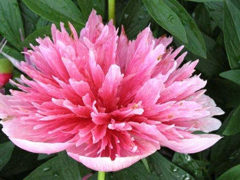 Пион лекарственный «Розея Плена»