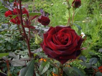 Розы чайно-гибридная «Абракатабра»