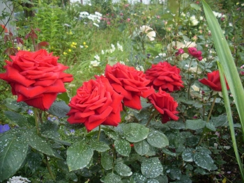 Розы чайно-гибридная «Антигуа»