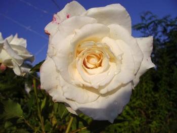 Розы чайно-гибридная «Биг Парпл»