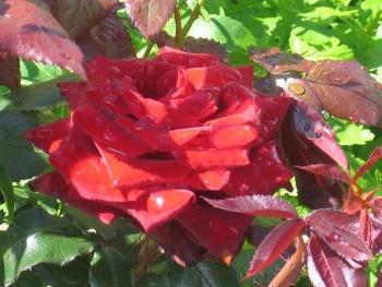 Розы чайно-гибридная «Блек Меджик»