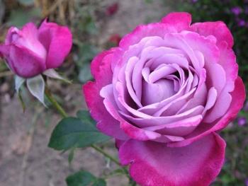 Розы чайно-гибридная «Голубая река»