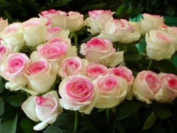 Розы чайно-гибридная «Дольче Вита»
