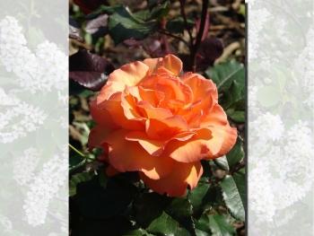 Розы чайно-гибридная «Коландро»