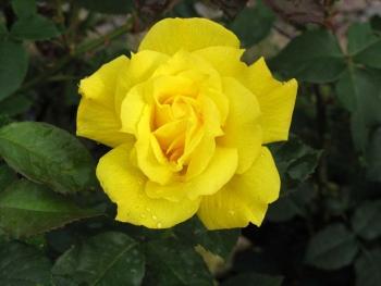 Розы чайно-гибридная «Конго»