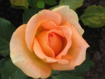 Розы чайно-гибридная «Лимбо»