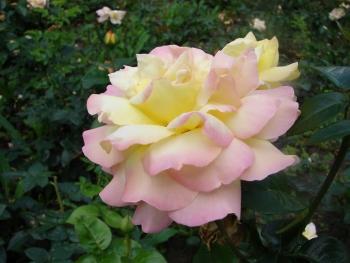 Розы чайно-гибридная «Нью Фешен»