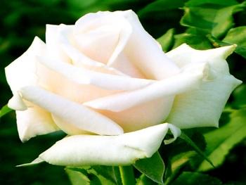Розы чайно-гибридная «Попов»