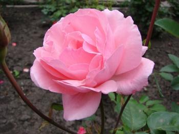 Розы чайно-гибридная «Рафаэлла»