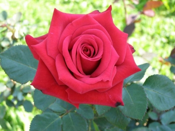 Розы чайно-гибридная «Ред Интуишин»