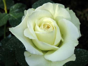 Розы чайно-гибридная «Софи»