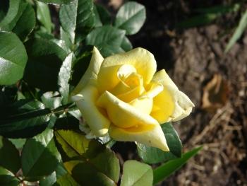 Розы чайно-гибридная «Тукан»