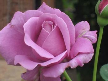 Розы чайно-гибридная «Шарль де Голь»