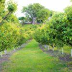 Закладка абрикосового промышленного сада
