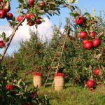 Плодоносящий сад