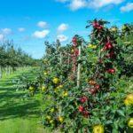 Промышленный плодоносящий сад